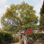 木登りの木